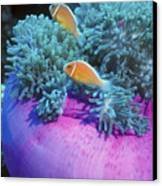 Pink Anemonefish Protect Their Purple Canvas Print by Michael Wood