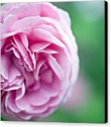 Pink Bourbon Rose Louise Odier Canvas Print by Frank Tschakert