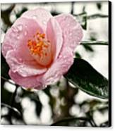 Pink Camellia With Raindrops Canvas Print by Eva Thomas