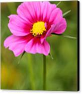 Pink Cosmo Canvas Print by Steve Augustin