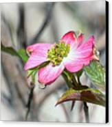Pink Dogwood Canvas Print by Kerri Farley
