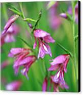 Pink Flowers Of Gladiolus Communis Canvas Print