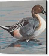 Pintail Canvas Print