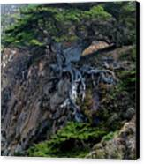 Point Lobos Veteran Cypress Tree Canvas Print by Charlene Mitchell