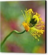 Poppy Seed Capsule Canvas Print by Kaye Menner