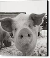 Portrait Of A Young Pig. Property Canvas Print by Joel Sartore