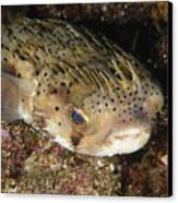 Porupinefish Close-up Portrait Sleeping Canvas Print by James Forte