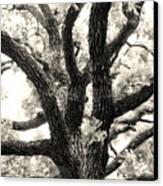 Post Oak Canvas Print
