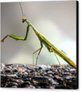 Praying Mantis  Canvas Print by Bob Orsillo