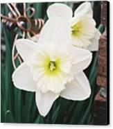Precious Daffodils Canvas Print