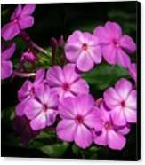 Pretty Pink Phlox  Canvas Print