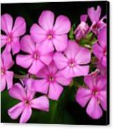 Pretty Pink Prairie Phlox Canvas Print