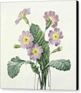 Primrose Canvas Print by Pierre Joseph Redoute