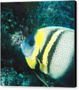Profile Of A Cortez Angelfish Canvas Print by James Forte