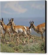 Pronghorn Antelope Running Canvas Print