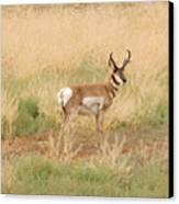 Pronghorn Buck Canvas Print