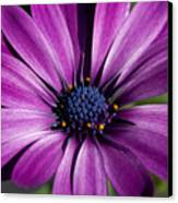 Purple African Daisy Canvas Print by Robert  Torkomian