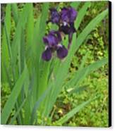 Purple Iris With Green Leaves Canvas Print by Sharon McKeegan
