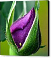 Purple Rose Bud Canvas Print