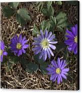 Purple Yard Flowers Canvas Print by Liz Allyn