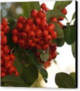 Pyracantha Berries In December Canvas Print