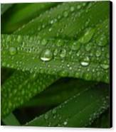 Raindrops On Green Leaves Canvas Print by Carol Groenen