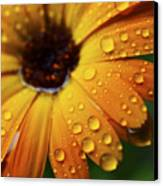 Rainy Day Daisy Canvas Print by Thomas R Fletcher