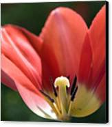 Red And Blushing 2 Canvas Print