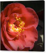 Red Camellia Bloom Canvas Print