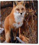 Red Fox Pausing Atop Log Canvas Print by Max Allen
