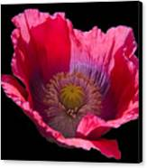Red Poppy On Blk Velvet Canvas Print