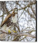 Red Tailed Hawk,  Canvas Print