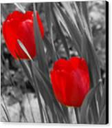 Red Tulip Duo Canvas Print
