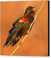 Red-winged Blackbird Belting Out Spring Song Canvas Print
