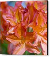 Rhododendron Flowers Canvas Print