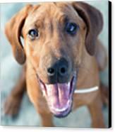 Ridgeback Puppy Canvas Print by Maarten van de Voort Images & Photographs