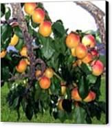 Ripe Apricots Canvas Print by Will Borden