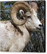 Rocky Mountain Ram Canvas Print