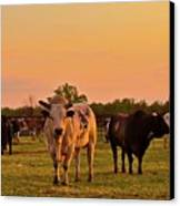 Rodeo Bulls At Dawn Canvas Print by Gus McCrea