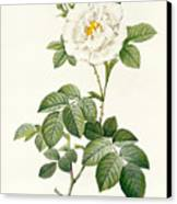 Rosa Alba Flore Pleno Canvas Print by Pierre Joseph Redoute