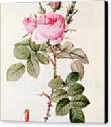 Rosa Bifera Officinalis Canvas Print by Pierre Joseph Redoute