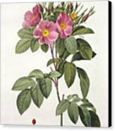 Rosa Carolina Corymbosa Canvas Print by Pierre Joseph Redoute