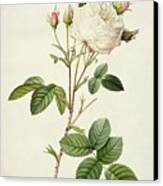 Rosa Centifolia Mutabilis Canvas Print