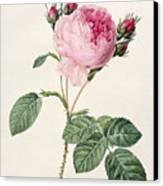 Rosa Centifolia Canvas Print by Pierre Joseph Redoute