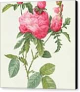 Rosa Centifolia Prolifera Foliacea Canvas Print by Pierre Joseph Redoute