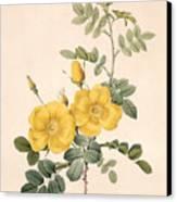 Rosa Eglanteria Canvas Print by Pierre Joseph Redoute