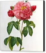 Rosa Gallica Aurelianensis Canvas Print