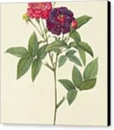 Rosa Gallica Purpurea Velutina Canvas Print by Pierre Joseph Redoute