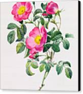 Rosa Lumila Canvas Print