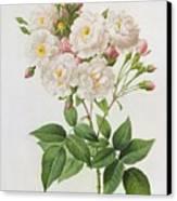 Rosa Noisettiana Canvas Print by Pierre Joseph Redoute